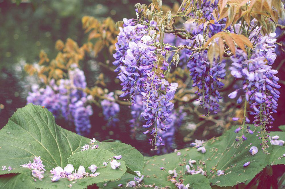 Grona glicynii przybierają barwę liliową, niebieską, czasem białą i różową