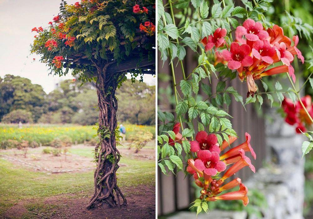 Milin amerykański posiada kwiaty w kształcie trąbki
