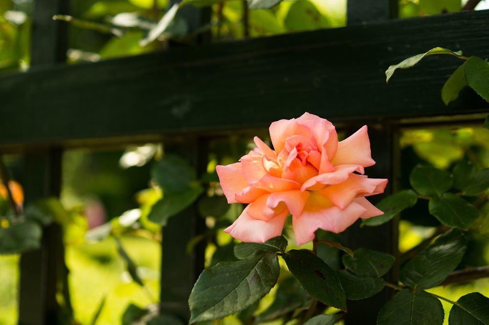 Pnąca róża